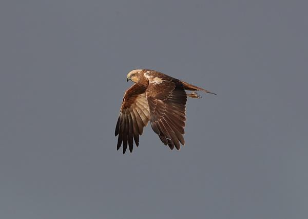 Marsh Harrier by NeilSchofield