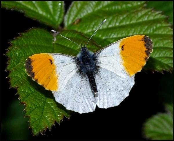 Orange Tip (male).. by Badgerfred
