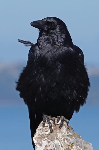 Crow by Silverzone