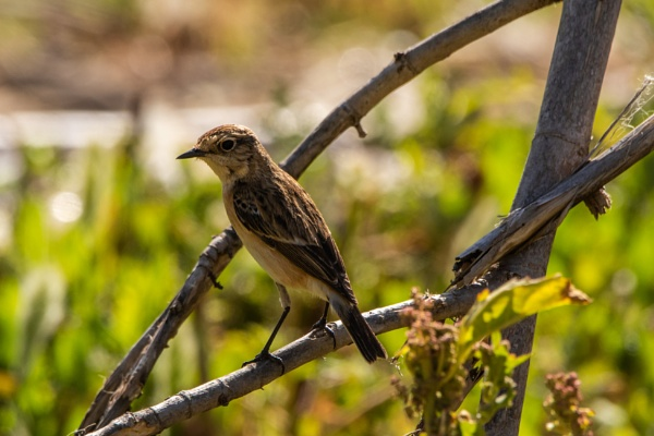 Female Stonechat by WorldInFocus