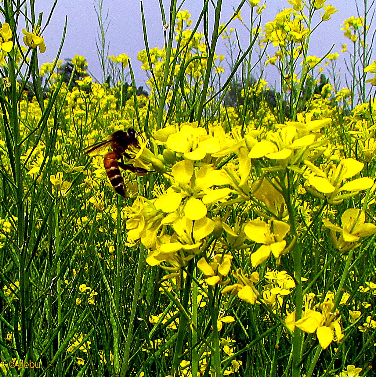 Wasp in mustard field
