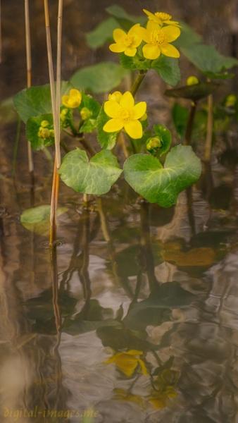 Marsh Marigold by Alan_Baseley
