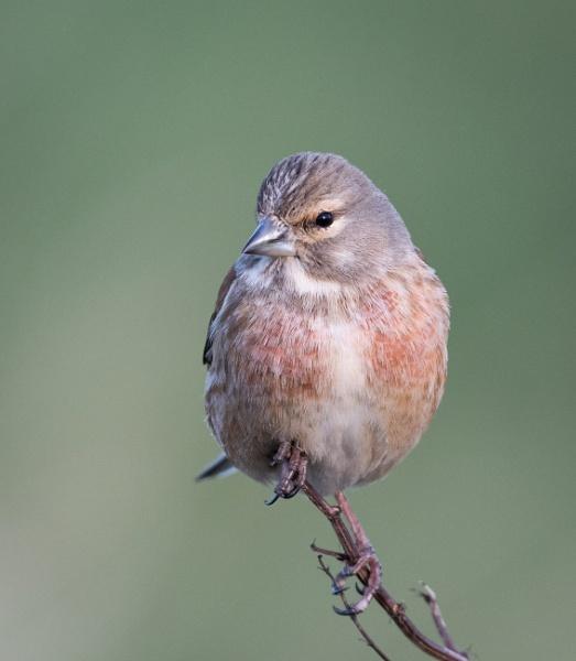 Male Linnet by jasonrwl