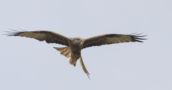 Red Kite by philhomer