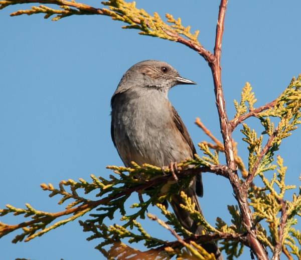 Dunnock by chriswood