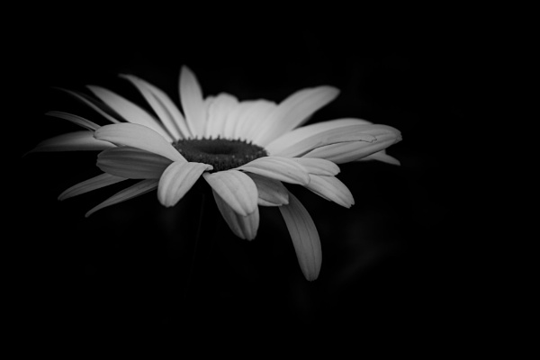 Daisy by chavender