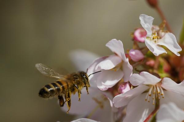 Honey Bee in Spring by Giz