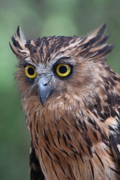 A Scops Owl by gconant