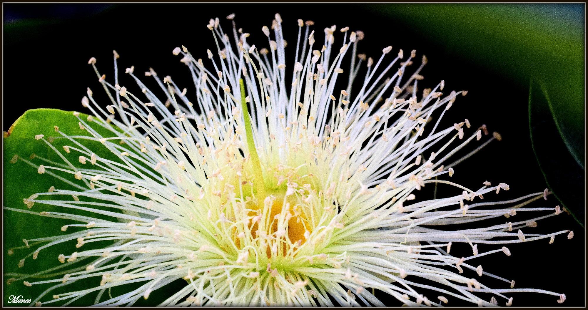 Java-apple flower.