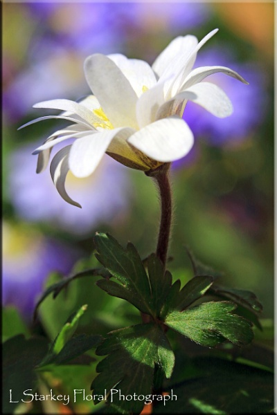 WHITE ANENOME by Hoverflylover