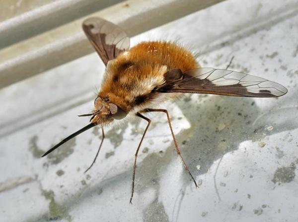 Dark-Edged Bee-Fly by pauljt