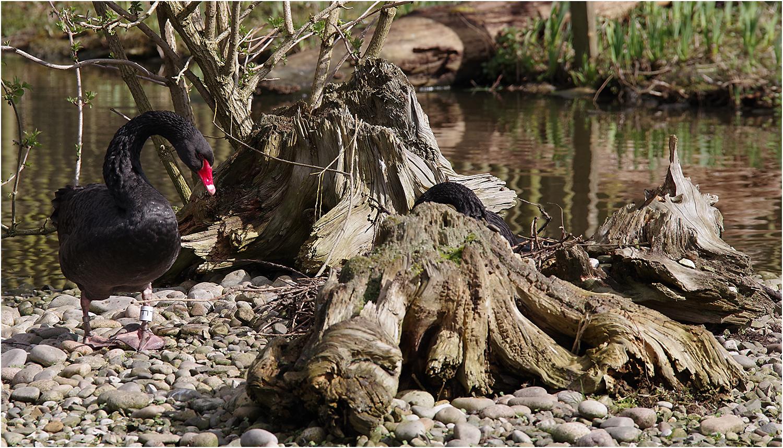 Black Swans Nesting