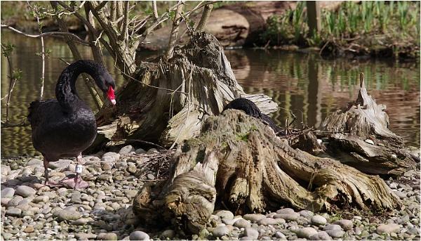 Black Swans Nesting by johnriley1uk