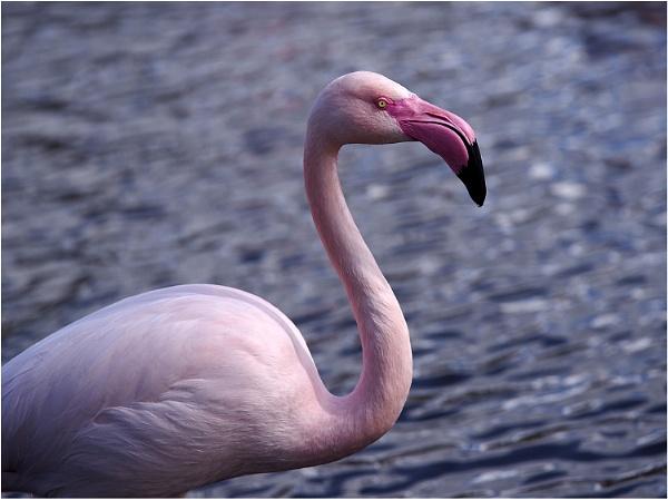 Pretty Flamingo by johnriley1uk