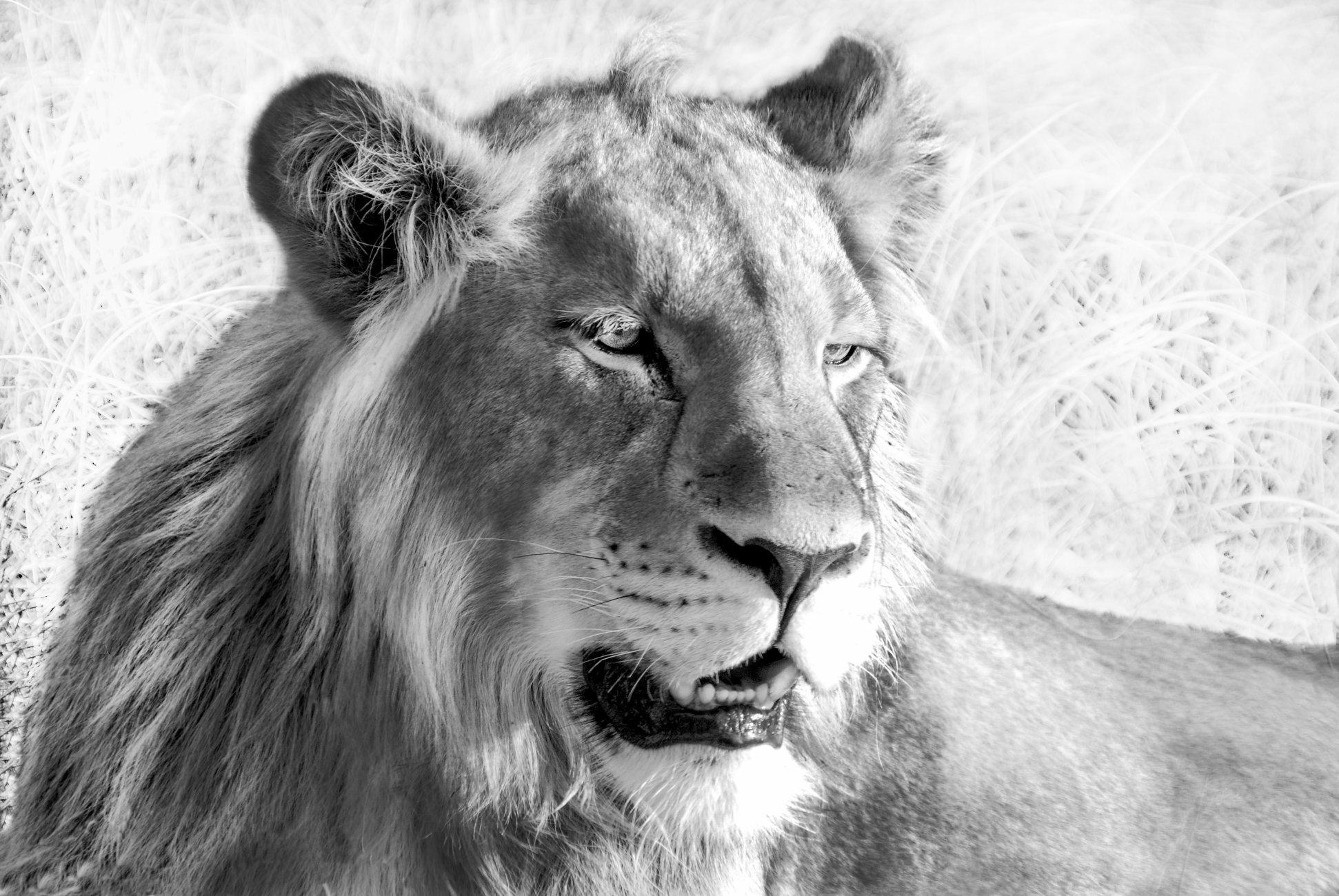 Mono Lion