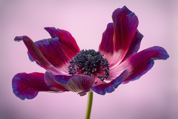 Anemone de Caen by flowerpower59