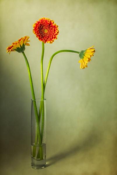 Gerbera by flowerpower59