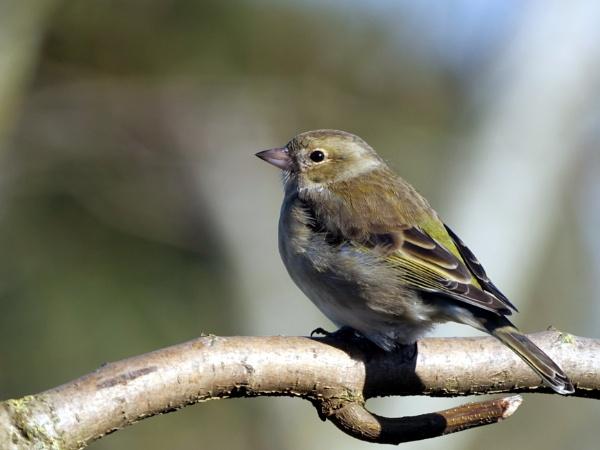 Female chaffinch by DerekHollis