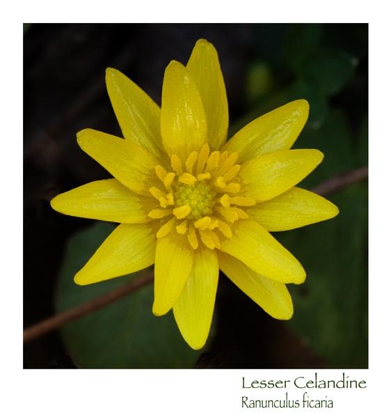 Lesser Celandine by taggart