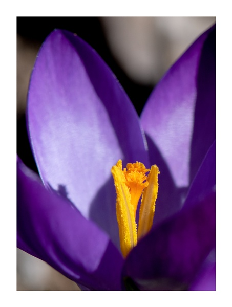 Crocus with Shadows by taggart