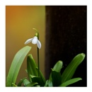 Snow Drop 2 by taggart
