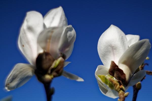 magnolia by retroman