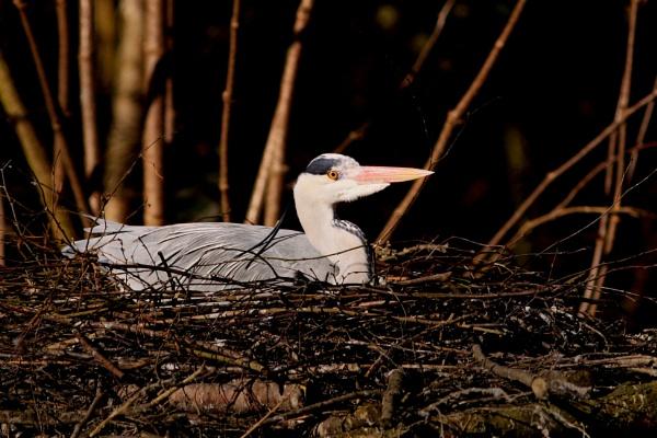 Nesting Grey Heron. by bobpaige1