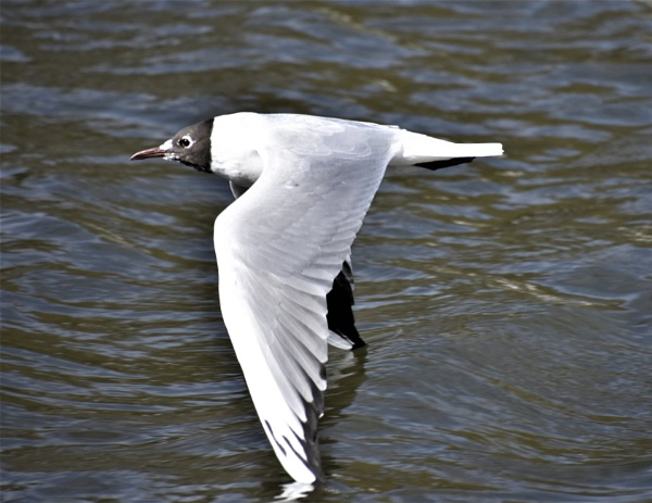 Black headed gull by Madoldie