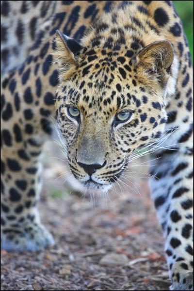Leopard by rickie