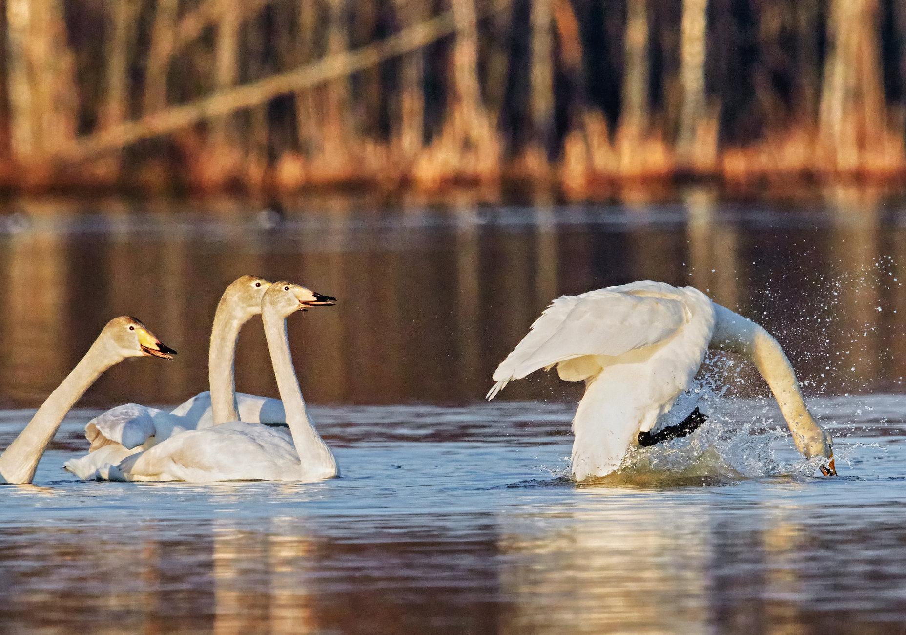Whooper swan  in action