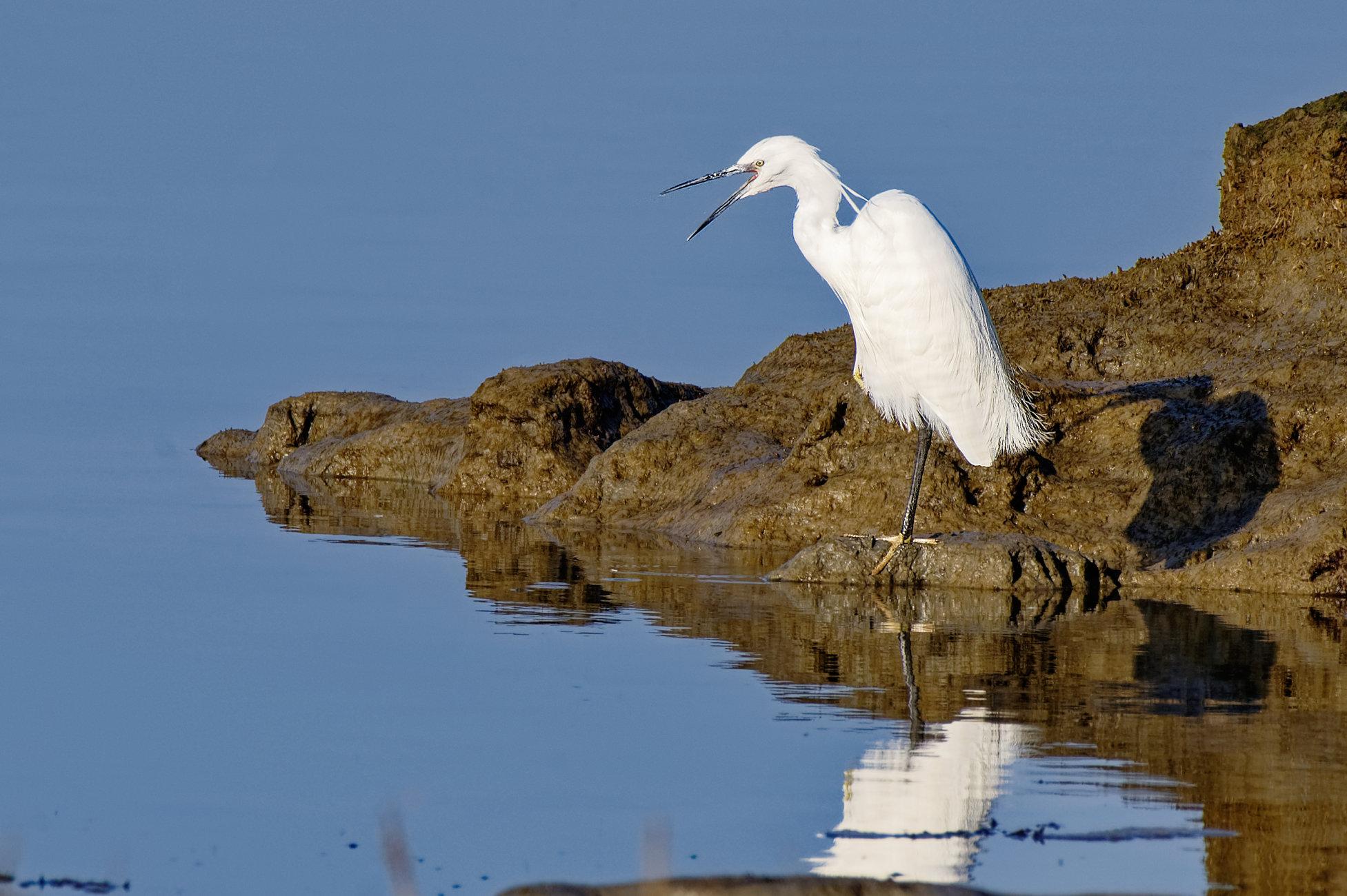 Squawking Egret