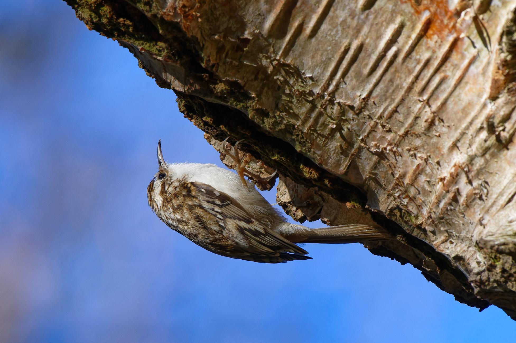 Treecreeper.