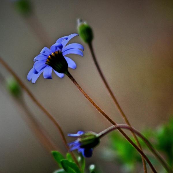 THE BLUE DAISY by dimalexa