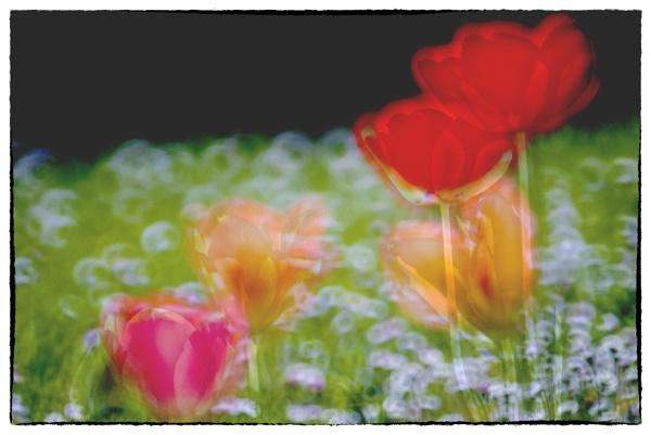 Tuesdays tulips by bornstupix2