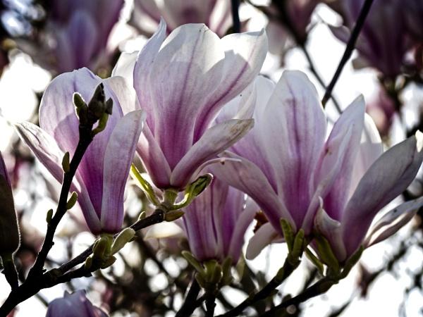 Magnolia by fujipat