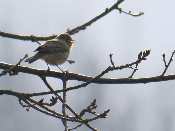 Chiff Chaff singing in spring morning light by wvbarnes
