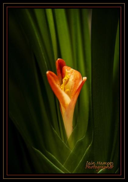 Flower by IainHamer