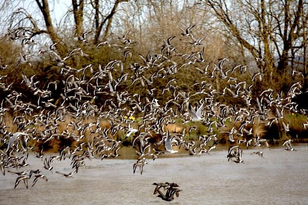 Godwits-Slimbridge Wild Fowl Trust  by VincentChristopher