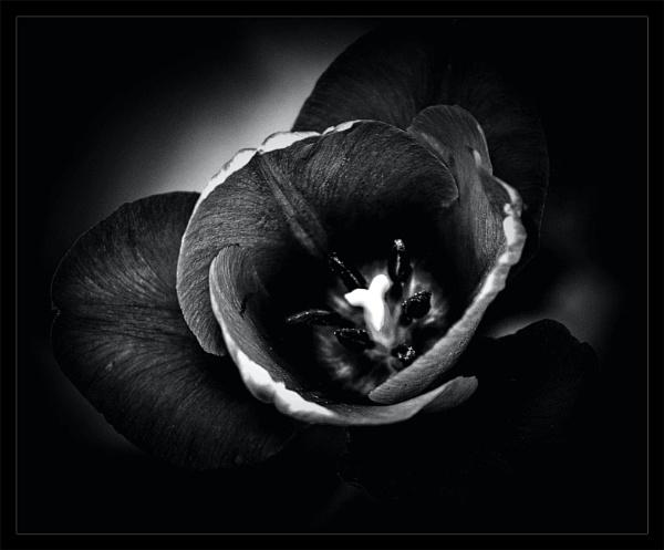 Black & White Tulip by adagio