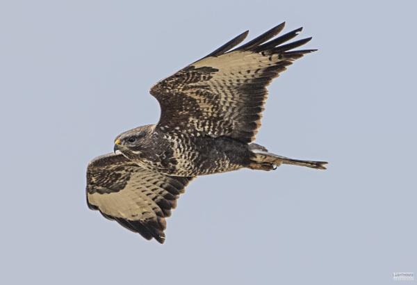 Buzzard in flight by LighthousePhotography