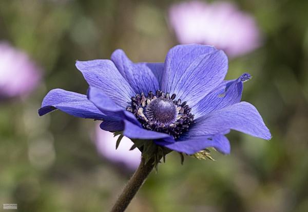 Anemone by LighthousePhotography