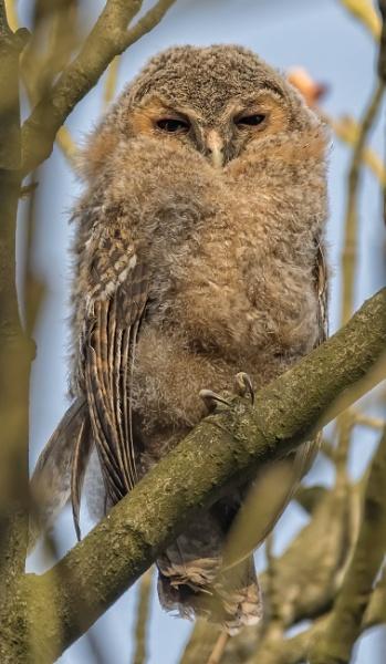 Tawny owl by gerti62