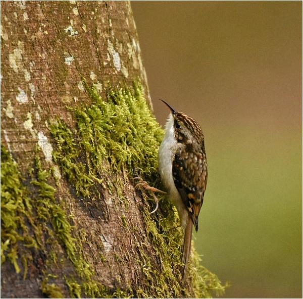 Treecreeper by MalcolmM