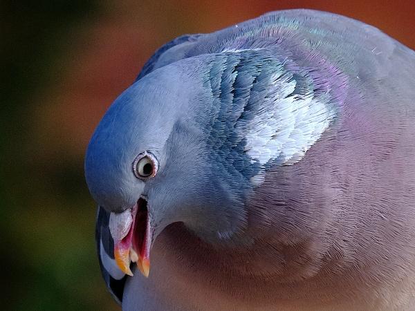 Pigeon Portrait by photographerjoe