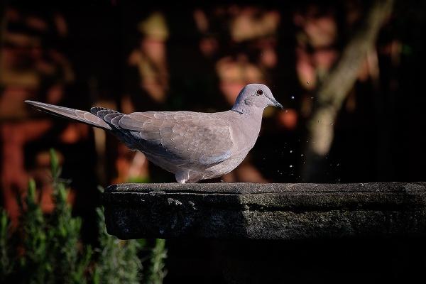 Thirsty Dove by photographerjoe