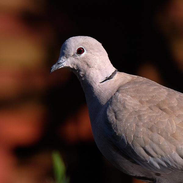 Dove Portrait by photographerjoe