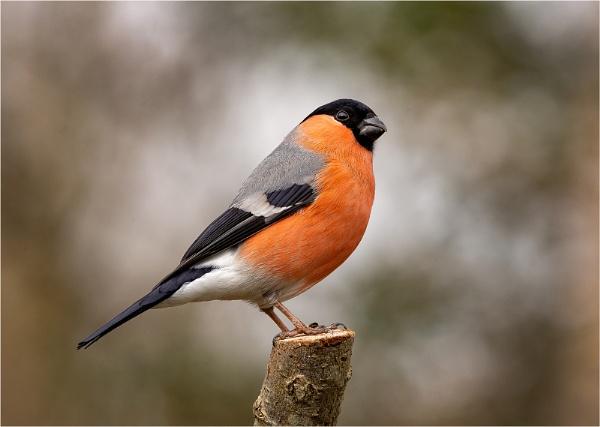 Bullfinch - Pyrrhula pyrrhula by Mike_Young