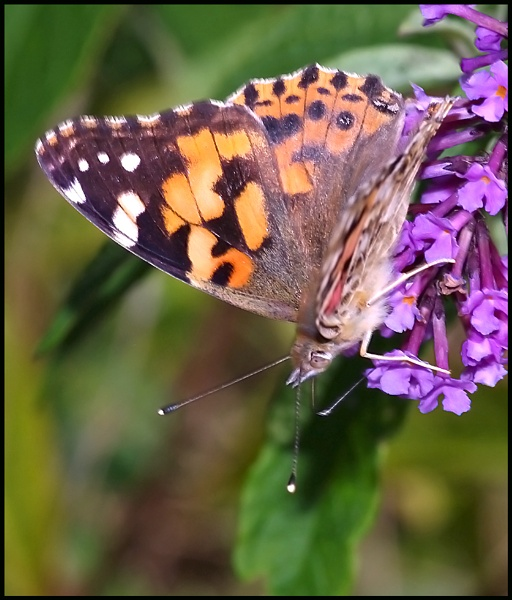 Painted Lady Nectaring --- by Badgerfred