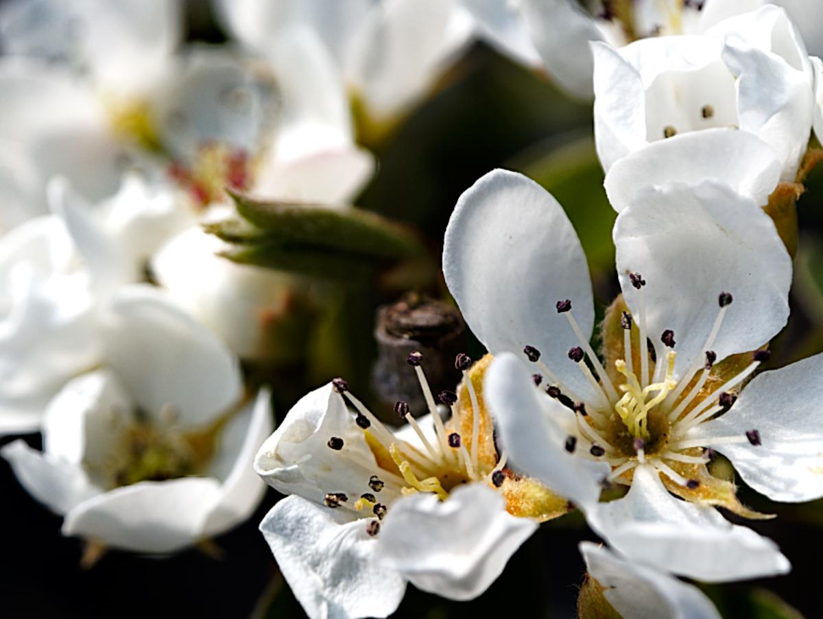""" Pear Blossom """