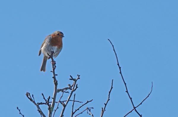 Spring Robin by Silverzone